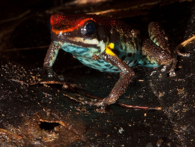 Frog Spotting in the Amazon