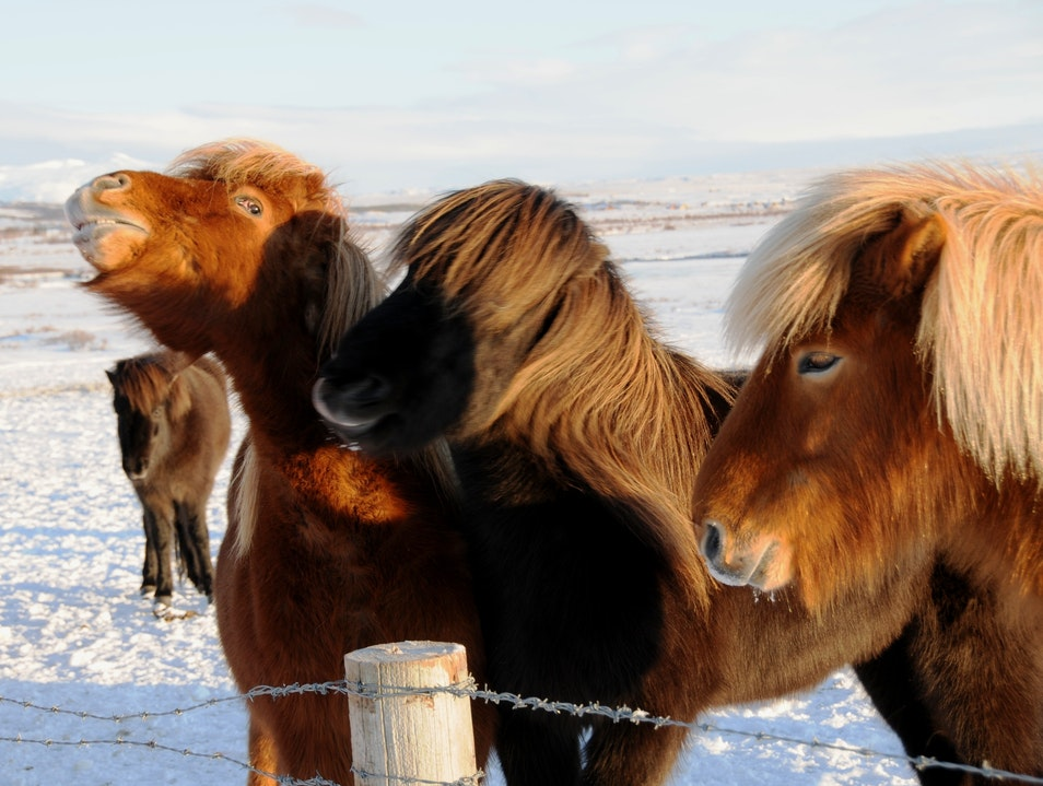 Icelandic Ponies South  Iceland