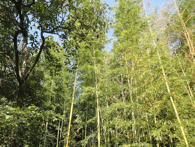 Bamboo grove beyond a fence