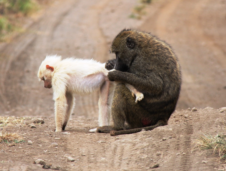 Arusha Day Trip: In search of the white baboon