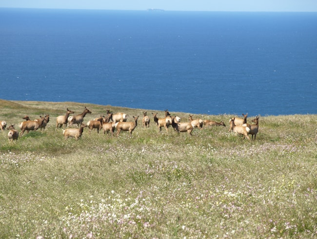 Elks by the ocean