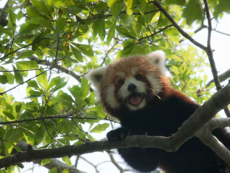 Red Pandas Norfolk Virginia United States