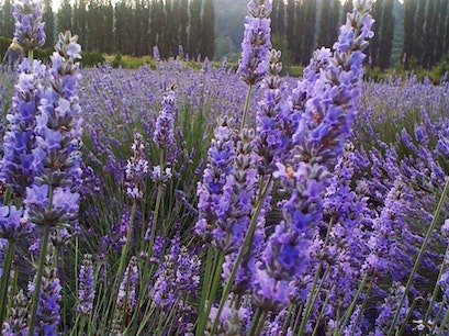 Woodinville Lavender Farm Redmond Washington United States