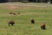 The Bison of Golden Gate Park San Francisco California United States