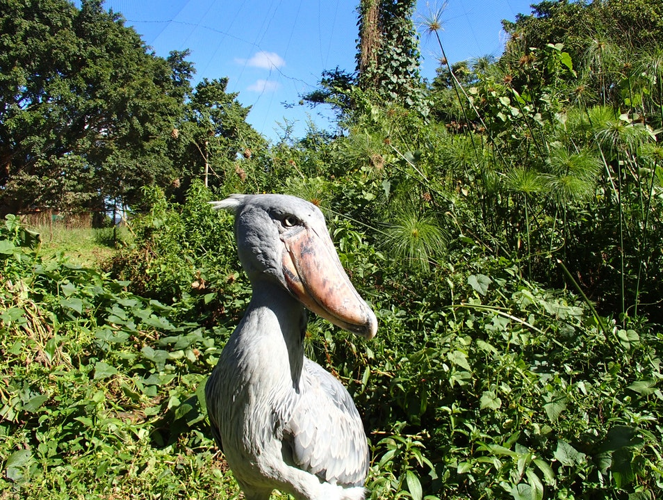 Meet Sushi, an endangered shoebill stork
