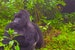 Rwanda Gorilla Trekking: The Real Deal