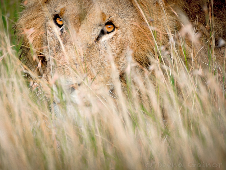 Being Stalked by a Lion Marsabit  Kenya