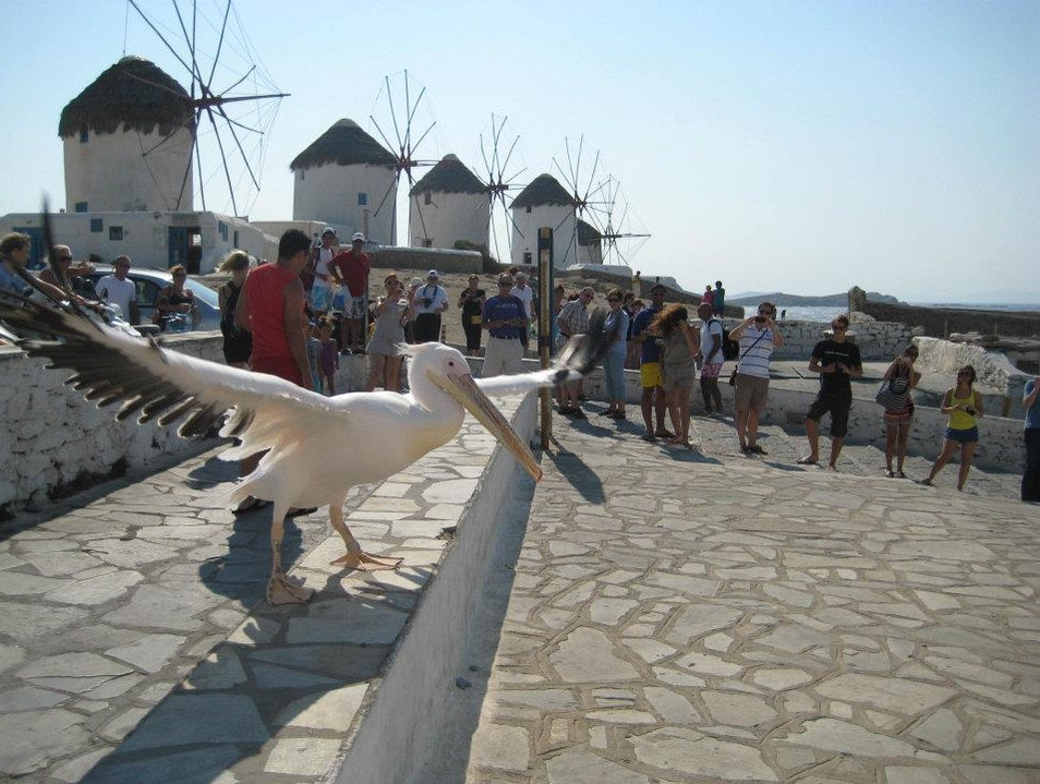 Windmills and Pelicans in Chora Mykonos  Greece