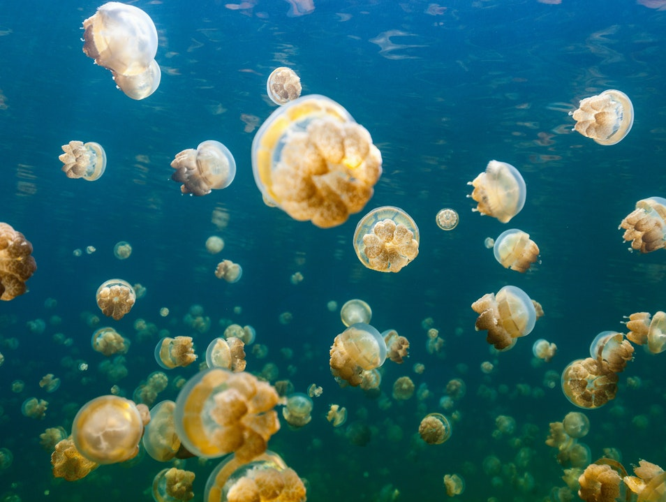 Palau's Golden Jellyfish of the Sun Koror  Palau