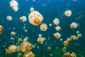 Jellyfish Lake