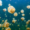 Jellyfish Lake Koror  Palau