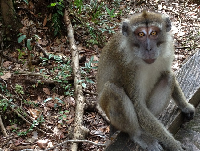 Camp Leakey Macaque