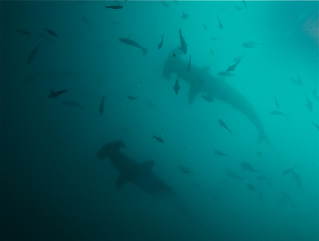 Scuba Diving with Hammerhead Sharks