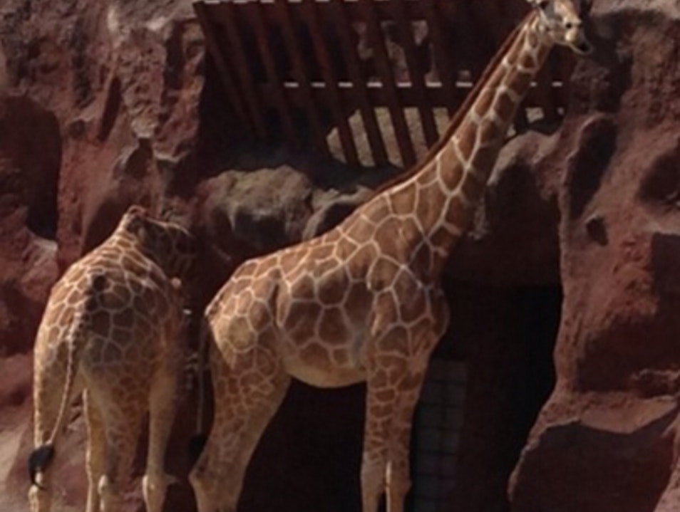 Giraffes at Gladys Porter Zoo Brownsville Texas United States
