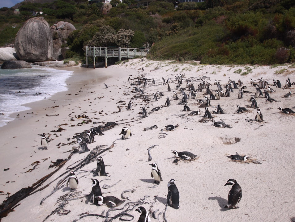 Swim with Penguins next door Cape Town  South Africa