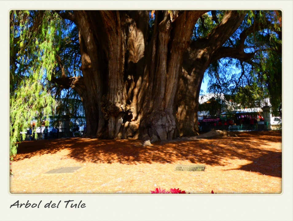 The largest tree