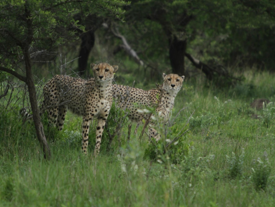 Cheetah Sightings at Phinda Hluhluwe  South Africa