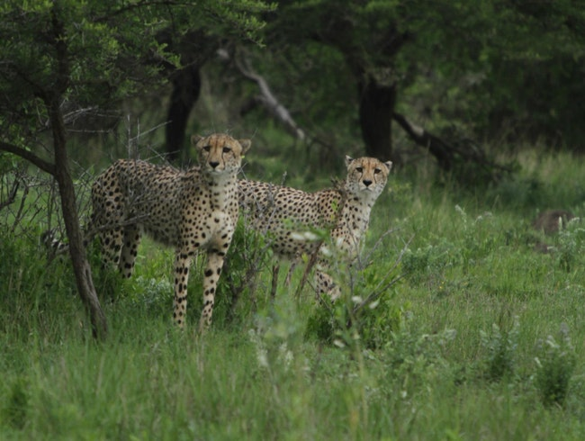 Cheetah Sightings at Phinda