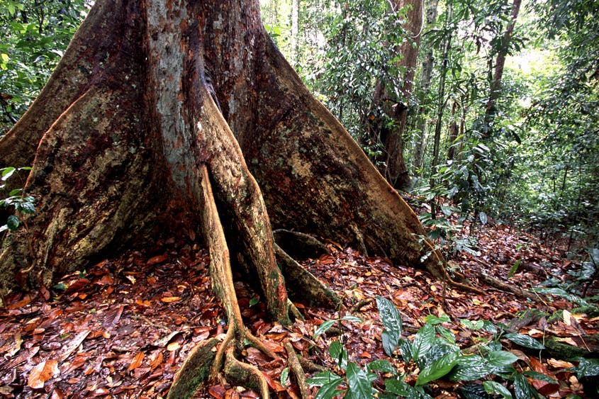 Buttressed roots provide stability to towering rain forest trees such as the banyans, ironwoods, and dipterocarps.