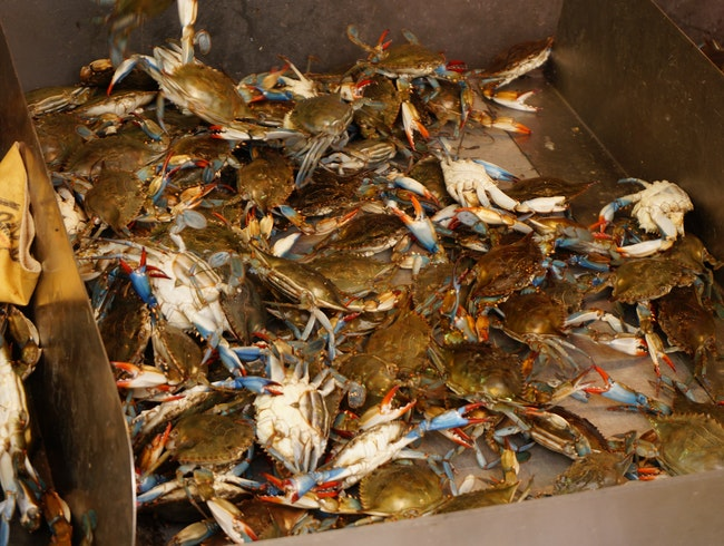 In Search of the Maryland Blue Crab