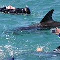 Swimming with Dolphins Akaroa  New Zealand