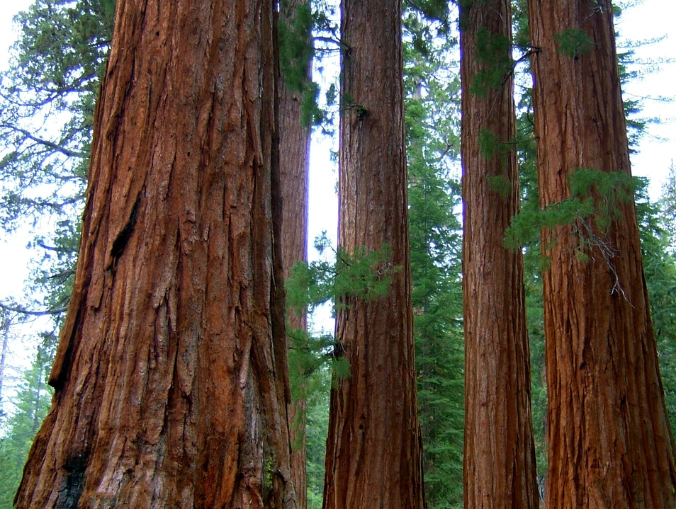Sequoias Yosemite National Park California United States