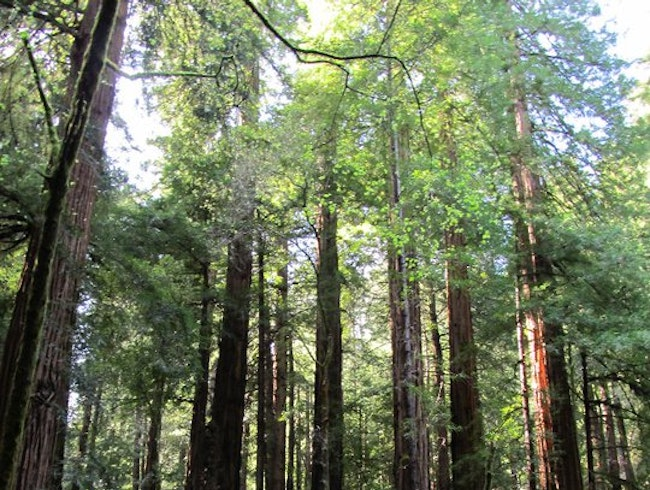 Take a break from the City and explore Muir Woods while visiting San Fran