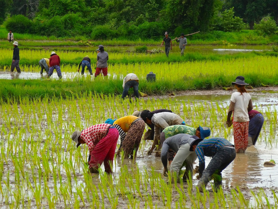Watch rice being planted in the rain Banteay Srei  Cambodia