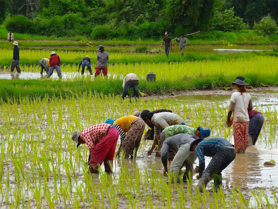 Watch rice being planted in the rain