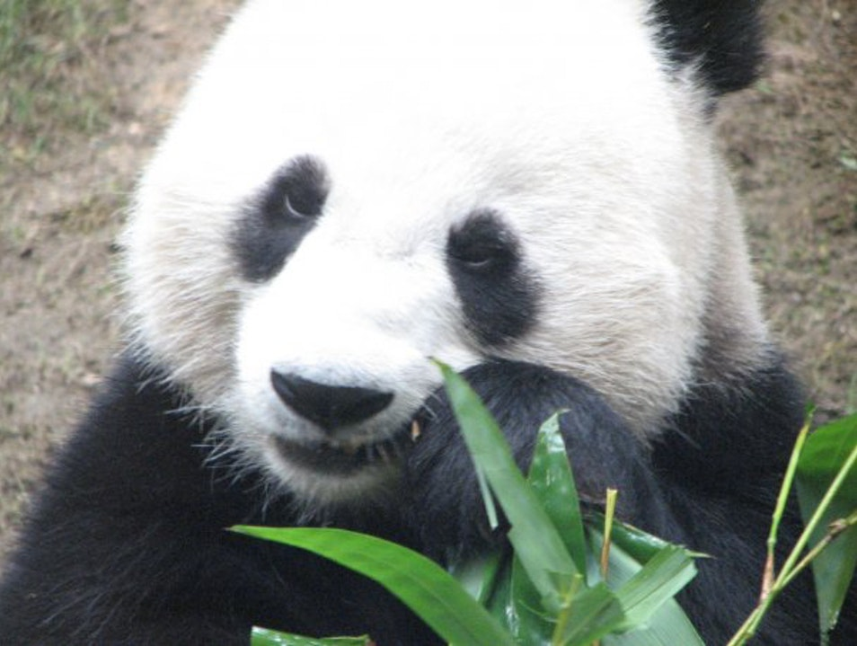 Pandas...as Seen on TV