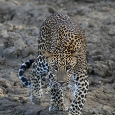 See Wild Leopards in Sri Lanka