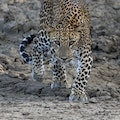 See Wild Leopards in Sri Lanka Puttalam  Sri Lanka