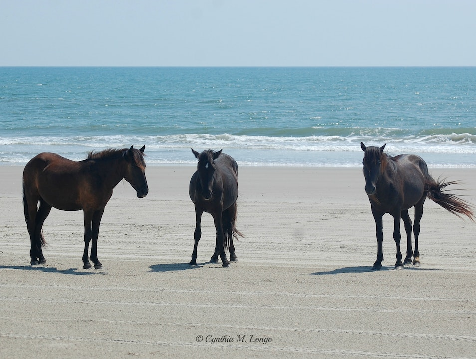 Wild Horses of North Carolina's Outer Banks Corolla North Carolina United States