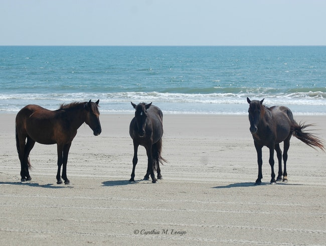 Wild Horses of North Carolina's Outer Banks