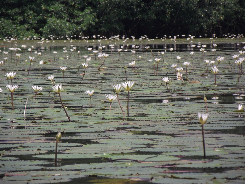 Lillies on Rio Dulce