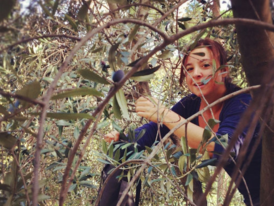 Urban Olive Harvest Rome  Italy