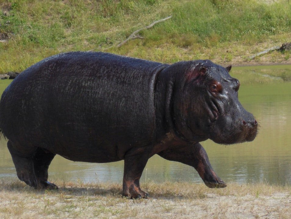 Hurray For Hippos! Kruger Park  South Africa