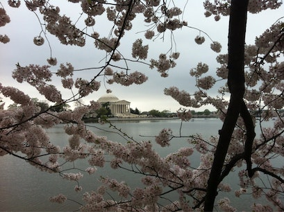 Cherry Blossoms Washington, D.C. District of Columbia United States