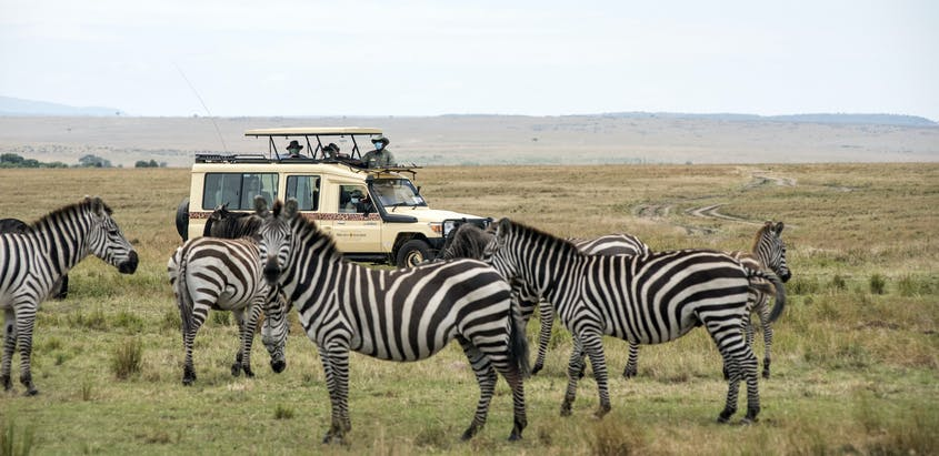 Zebras migrate, in part, to hunt for their primary food source: long grasses.