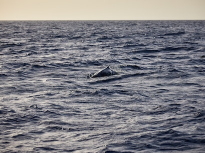 Dive Dominica Whale Watching   Dominica