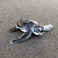 Original greenturtlehatchling credit marinecreatures.jpg?1486945361?ixlib=rails 0.3