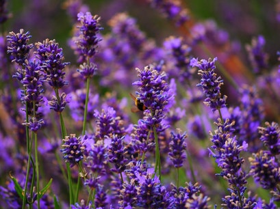 Mayfield Lavender Nursery Epsom  United Kingdom