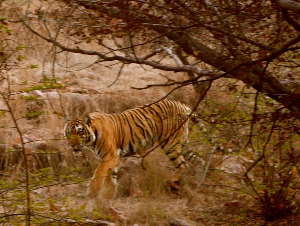 A Royal Sighting Sawai Madhopur  India