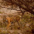 Ranthambore National Park Sawai Madhopur  India