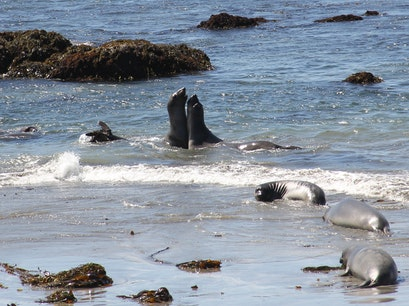 Piedras Blancas Elephant Seal rookery Clarksburg California United States