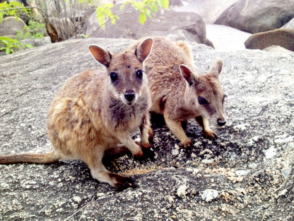 Get Up Close with the Wild Rock Wallabies  Arriga  Australia