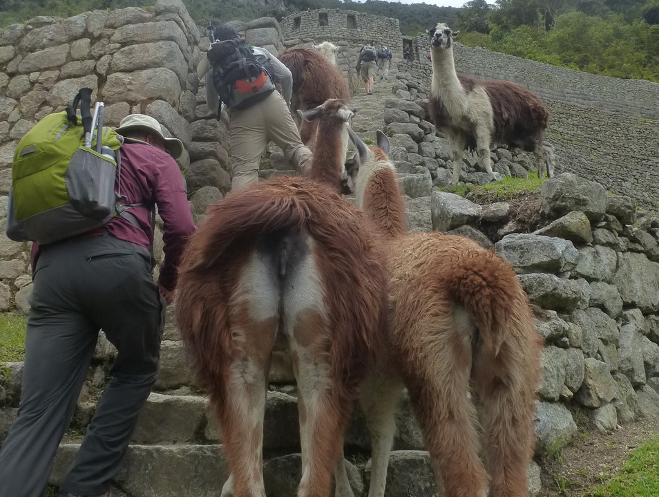 Negotiating with Llamas at Winaywayna Ollantaytambo  Peru