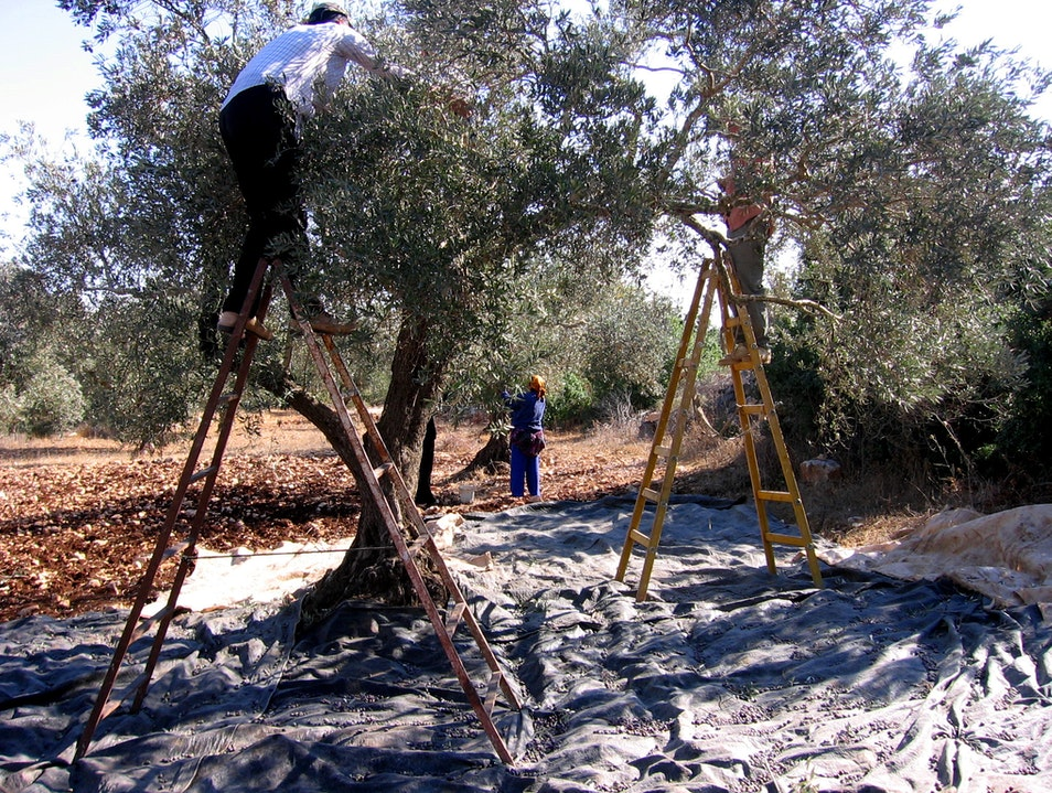 Olive Harvest in the West Bank Hills   Earth