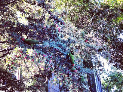 The Parrots of Telegraph Hill San Francisco California United States