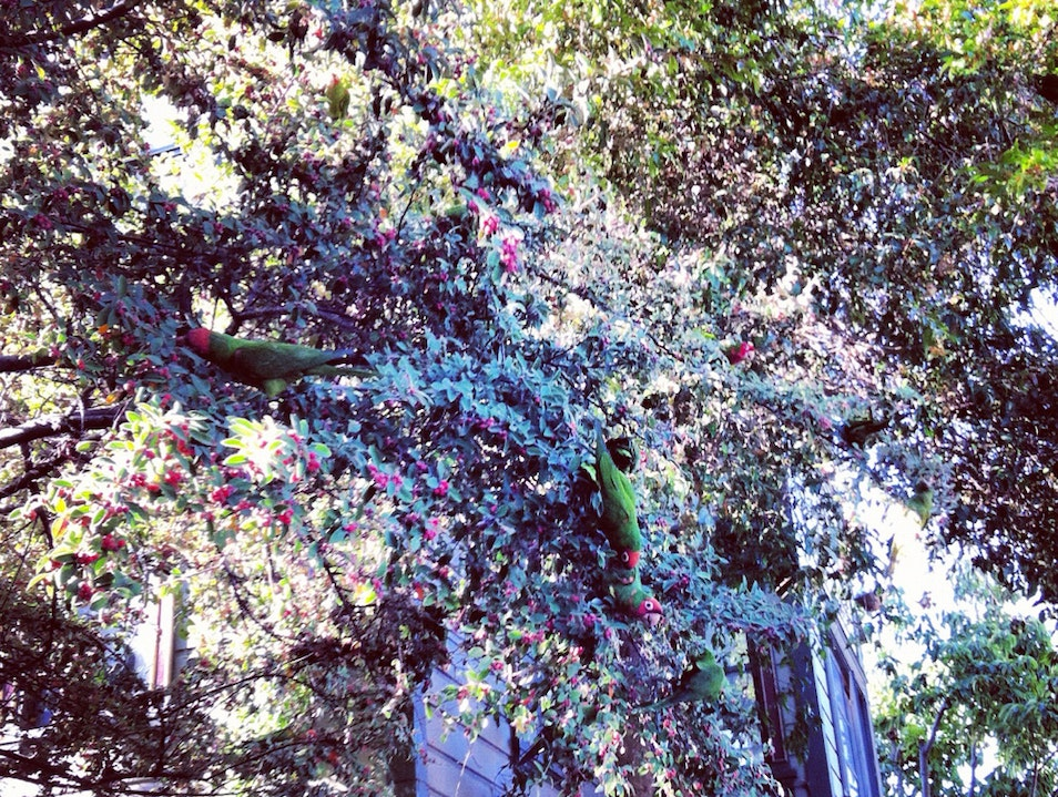 Wild Parrots Of Telegraph Hill - SF